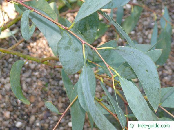 snow gum (Eucalyptus pauciflora subsp niphophila) leaves
