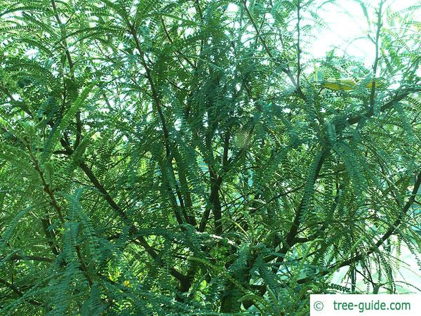 kōwhai (Sophora microphylla) growth
