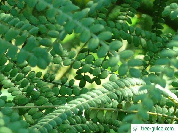 kōwhai (Sophora microphylla) leaves