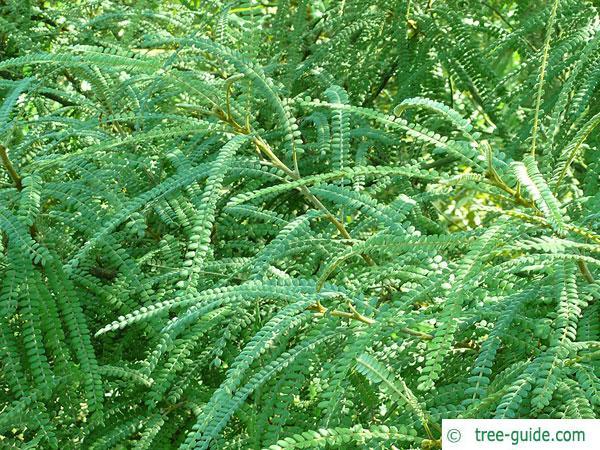 kōwhai (Sophora microphylla) leaf