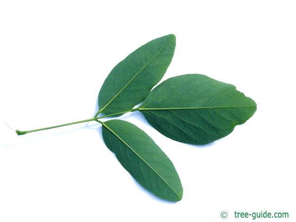 street black locust (Robinia pseudoacacia 'Monophylla') leaf underside
