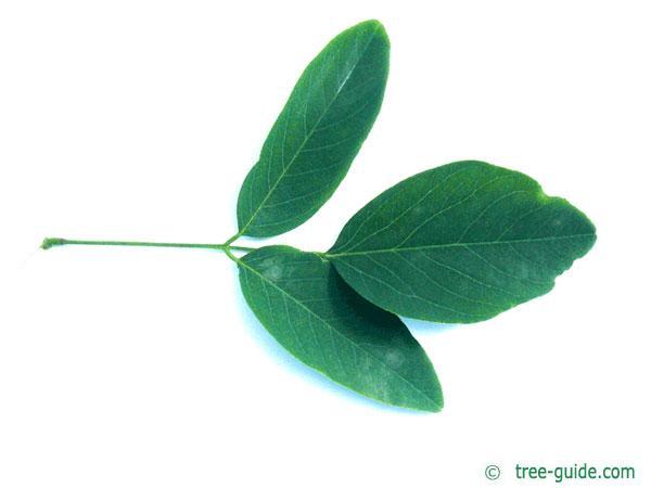 street black locust (Robinia pseudoacacia 'Monophylla') leaf