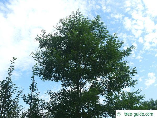 street black locust (Robinia pseudoacacia 'Monophylla') tree in summer