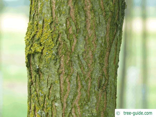 street black locust (Robinia pseudoacacia 'Monophylla') trunk / bark