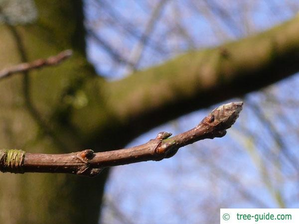 sugar maple (Acer saccharum) buds