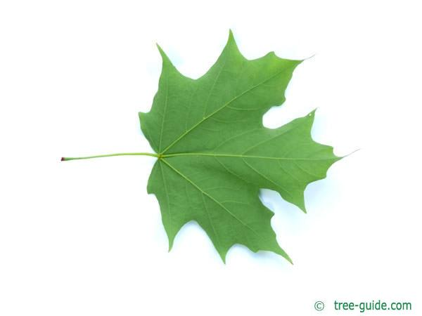 sugar maple (Acer saccharum) leaf underside