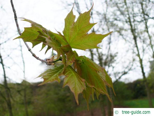 sugar maple (Acer saccharum) leaves in spring