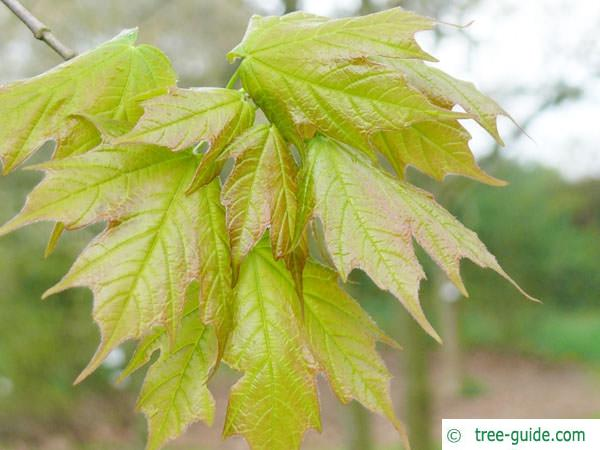 sugar maple (Acer saccharum) leaves