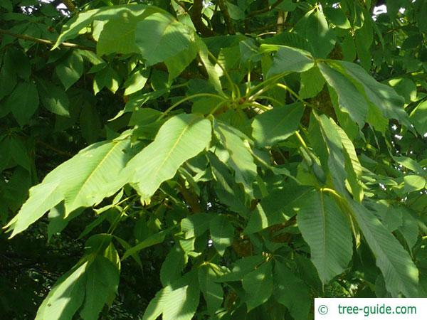 sunrise horsechestnut (Aesculus x neglecta 'Erythroblastos') leaves