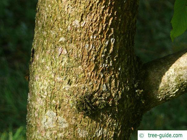 sunrise horsechestnut (Aesculus x neglecta 'Erythroblastos') trunk / bark