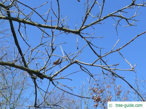 swamp white oak (Quercus bicolor) branch
