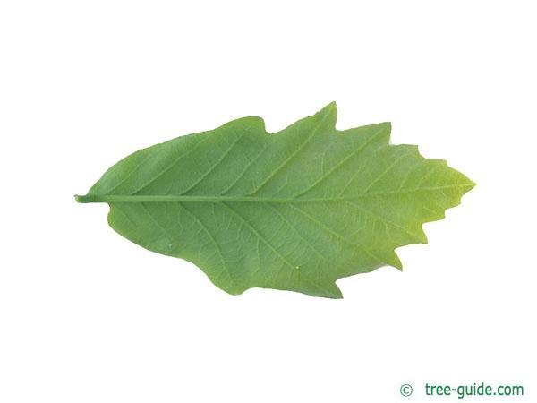 swamp white oak (Quercus bicolor) leaf underside