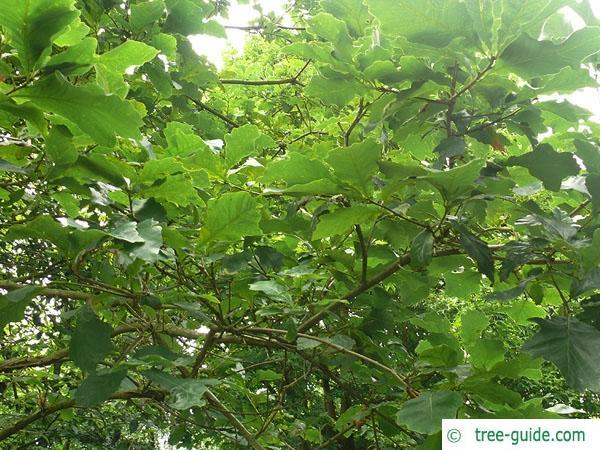 swamp white oak (Quercus bicolor) leaves