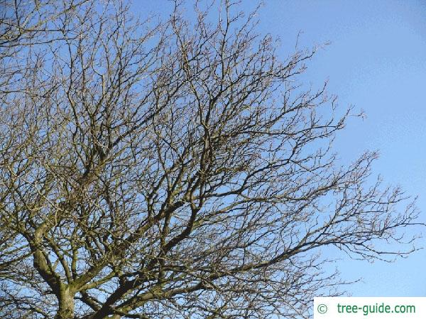 swedish whitebeam (Sorbus intermedia) crown in winter