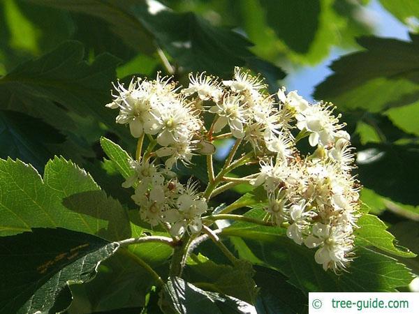 swedish whitebeam (Sorbus intermedia) flower