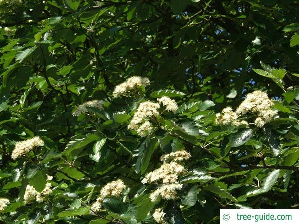 swedish whitebeam (Sorbus intermedia) flowers