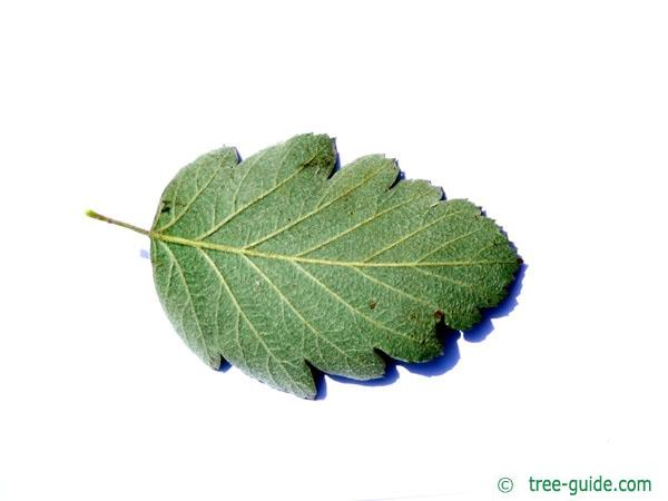 swedish whitebeam (Sorbus intermedia) leaf underside