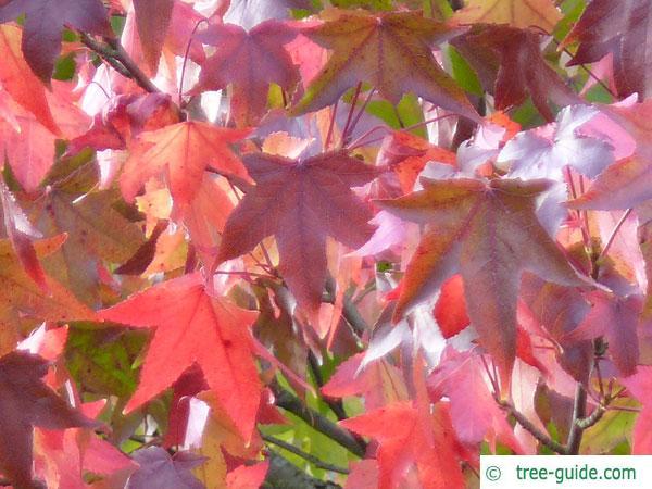 sweetgum (Liquidambar styraciflua) autumn foliage