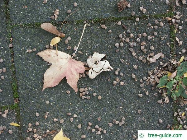 sweetgum (Liquidambar styraciflua) seed