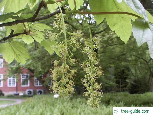sycamore maple (Acer pseudoplatanus)flower