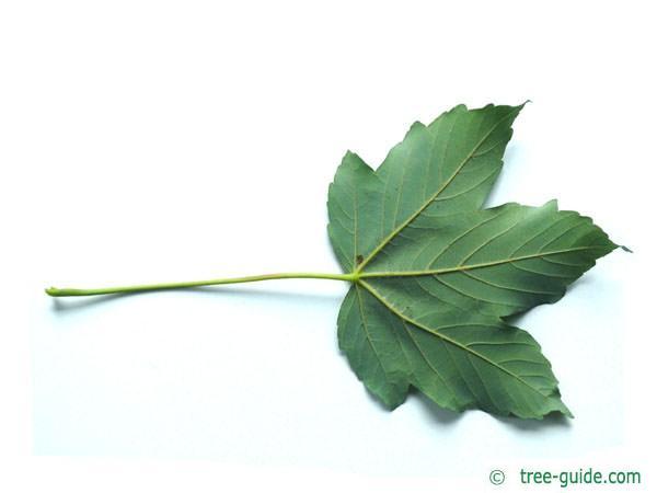 sycamore maple (Acer pseudoplatanus) leaf underside