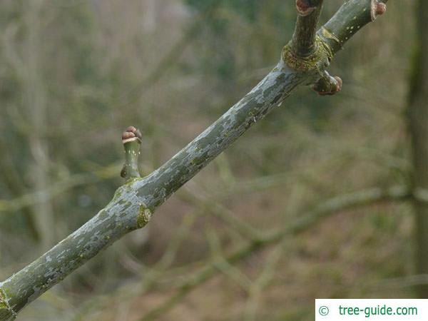 texas ash (Fraxinus texensis) axial bud