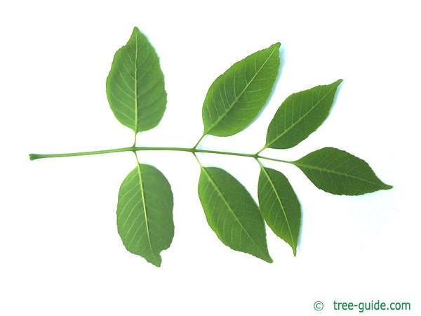 texas ash (Fraxinus texensis) leaf underside