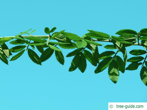 thorn-elm (Hemiptelea davidii) branch with leaves