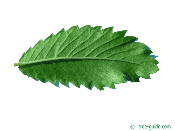 thorn-elm (Hemiptelea davidii) leaf underside