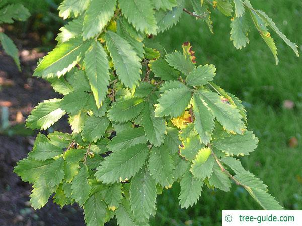 thorn-elm (Hemiptelea davidii) leaves