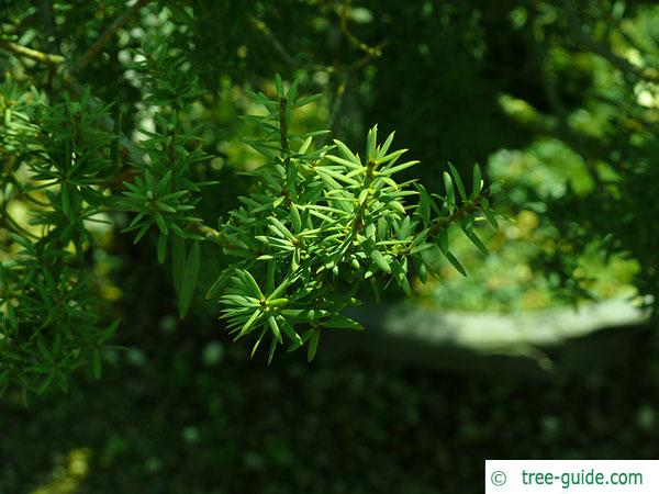 totara (Podocarpus totara) needles and branch