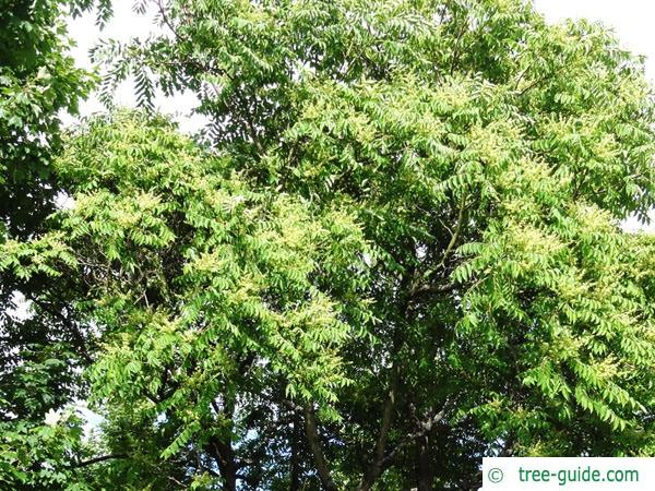 tree of heaven (Ailanthus altissima) crown foliage