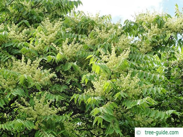 tree of heaven (Ailanthus altissima) flowers