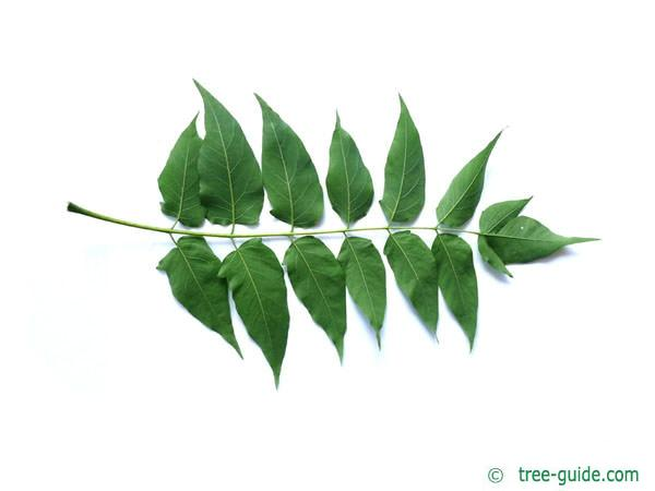tree of heaven (Ailanthus altissima) leaf underside