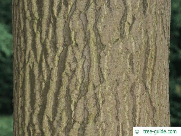 tree of heaven (Ailanthus altissima) trunk