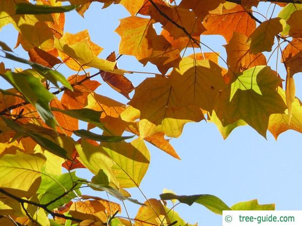 tulip tree (Liriodendron tulipifera) autumn