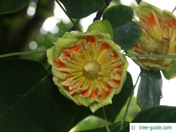 tulip tree (Liriodendron tulipifera) flower
