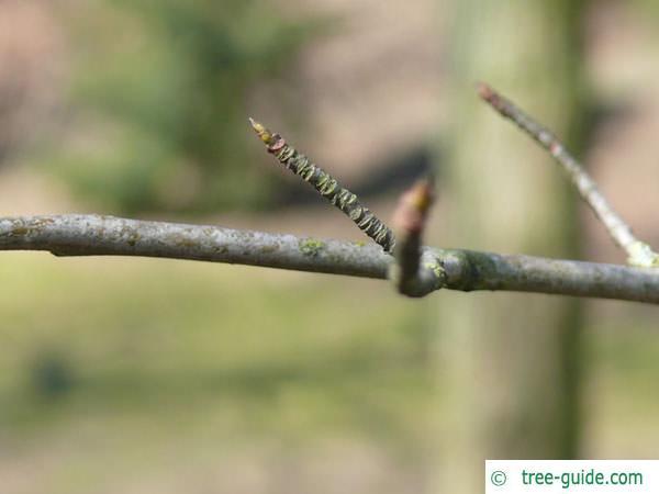 tupelo (Nyssa sylvestris) branch