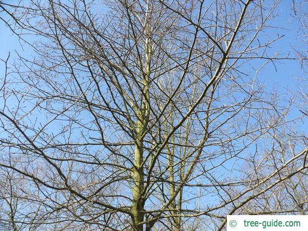 tupelo (Nyssa sylvestris) crown winter