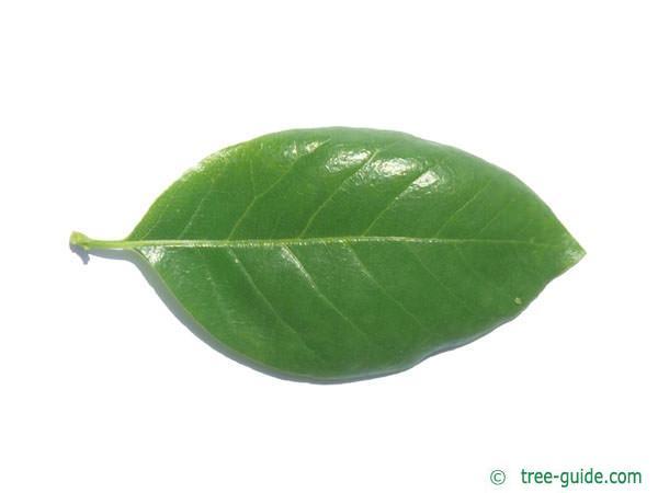 tupelo (Nyssa sylvestris) leaf