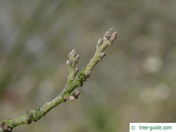 turkish oak (Quercus zerris) twig