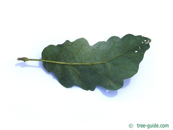 turkish oak (Quercus zerris) leaf underside