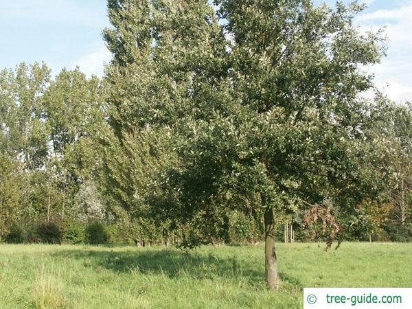 turkish oak (Quercus zerris) tree