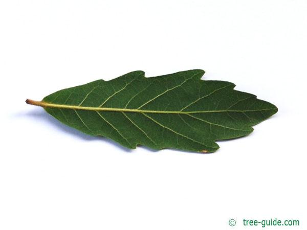 turners oak (Quercus turneri 'Pseudoturneri') underside of a leaf
