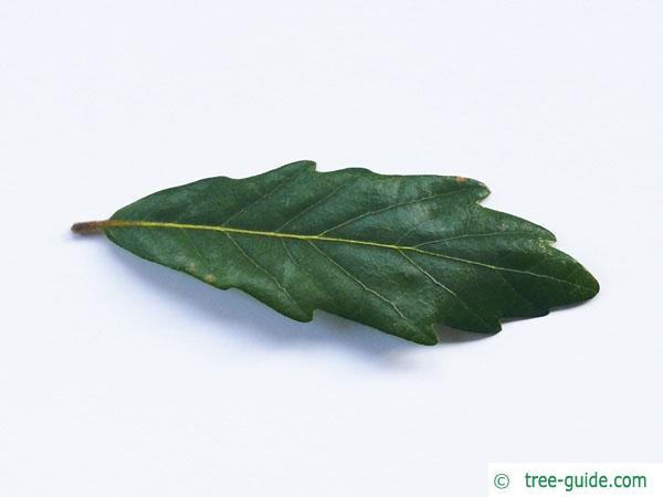turners oak (Quercus turneri 'Pseudoturneri') leaf