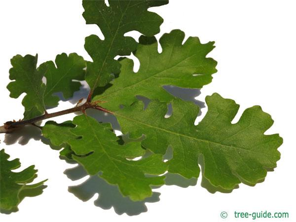 valley oak (Quercus lobata) leaves