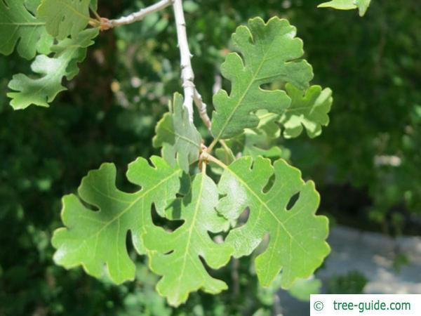 valley oak (Quercus lobata) twig