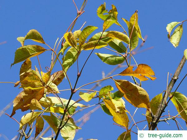 vine-leaved maple (Acer cissifolium) autumn foliage