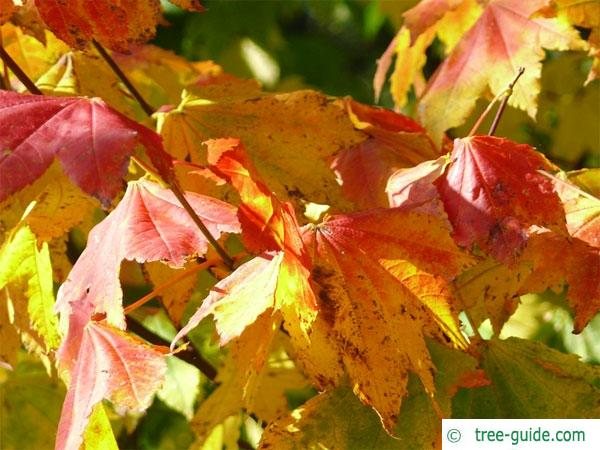vine maple (Acer circinatum) in autumn