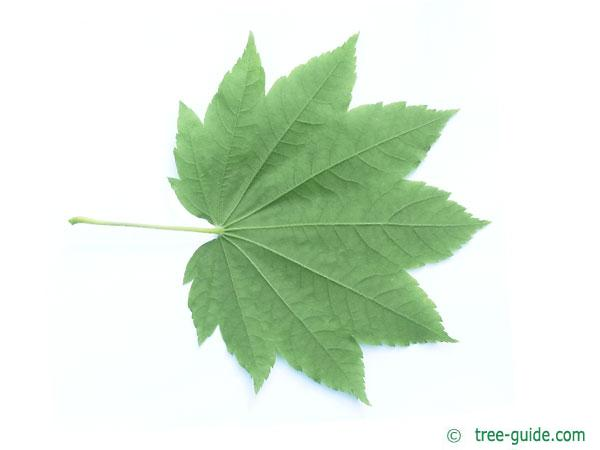 vine maple (Acer circinatum) leaf underside